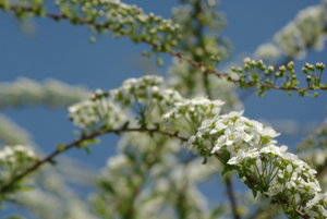 april10_springblossom01